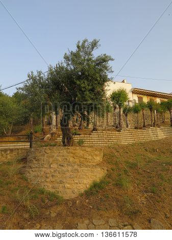 Olive tree growing behind retaining wall on bank