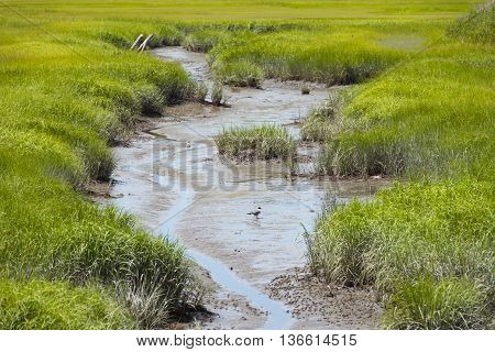 Ducks in a muddy stream in the marshes