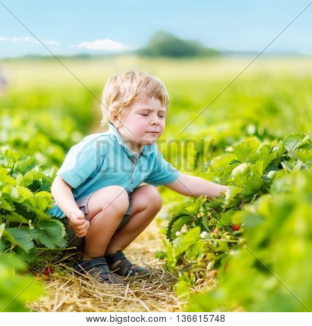 Funny little toddler kid boy picking and eating strawberries on organic pick a berry farm in summer, on warm sunny day. Harvest fields. Healthy food for children. Gardening and farming concept