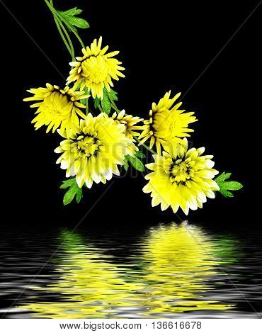 Autumn beautiful colorful chrysanthemum flowers isolated on black background