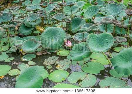 lot of lotus leaves floating in the pond