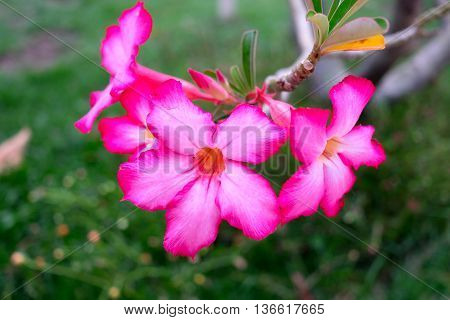Beautiful pink Impala Lily flower in the garden