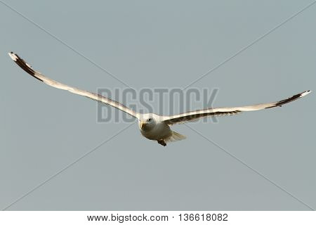 Larus cachinnans - caspian gull in flight adult photodraphed in Sfantu Gheorghe Danube Delta Romania