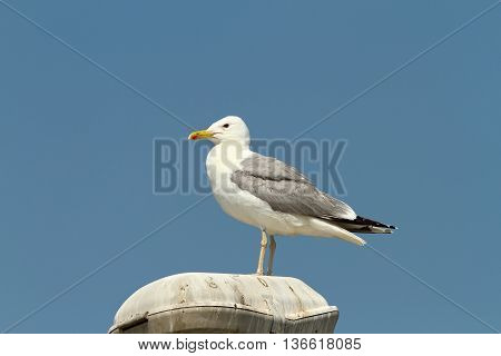 caspian gull resting on electric pillar ( Larus cachinnans )
