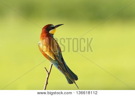 colorful bee eater on branch over green background ( Merops apiaster )