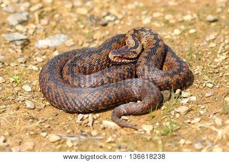 european venomous snake on the ground ( Vipera berus )