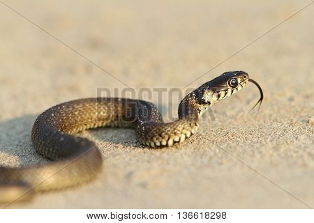 Natrix natrix - grass snake juvenile on sand near the Black Sea