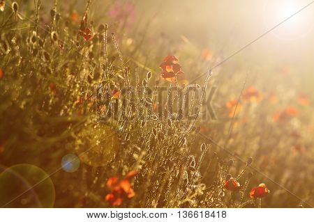 wild poppies field at sunset with lens flare effect ( Papaver rhoeas )