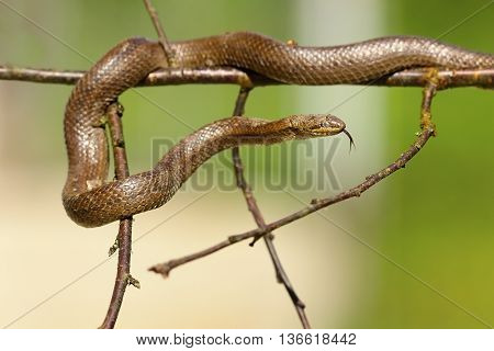 smooth snake climbing on twigs green out of focus background ( Coronella austriaca )