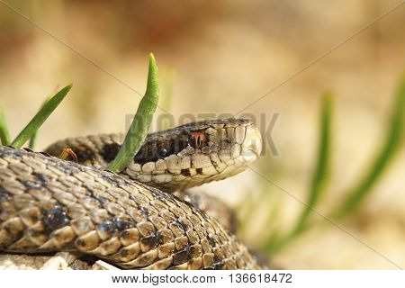 Vipera ursinii rakosiensis - male the meadow viper from Transylvania - probably the most endangered snake in Europe closeup-IUCN-endangered