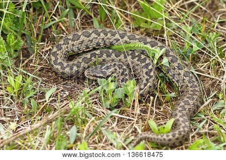 the rarest snake in Europe meadow adder photographed in natural habitat in Transylvania ( Vipera ursinii rakosiensis )