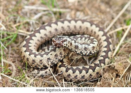 Vipera berus in natural habitat ( european common adder )