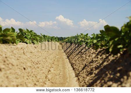 Potato plants in a field in summer