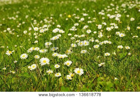 Meadow full of beautiful daisies in summer