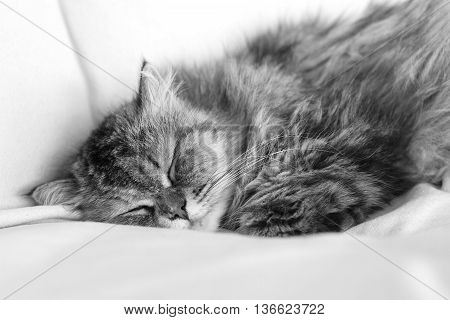 Cat with longs hairs sleeping in a sofa