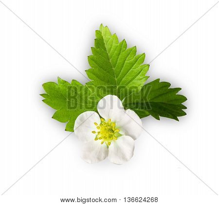 strawberry plant with flowers isolated on white