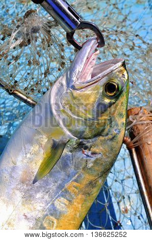Queenfish In The Hook Anf Fishing Net