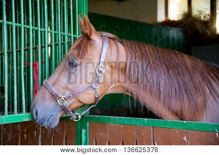 Nice Thoroughbred  Young Chestnut Racehorse Standing At The Stable Door