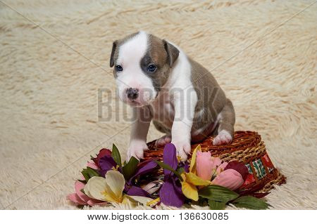 Puppy American Staffordshire Terrier studio portrait dog turned a basket