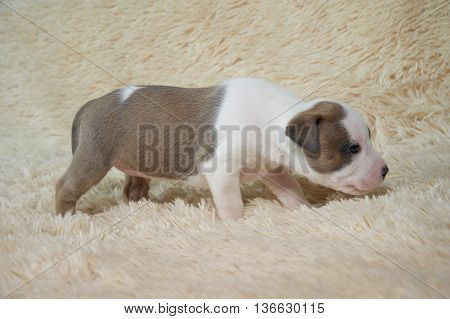 Puppy American Staffordshire Terrier studio portrait dog on a color background