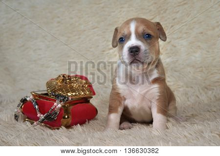 brown and white puppy of the American Staffordshire terrier near a trunk