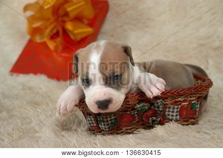 brown and white puppy of the American Staffordshire terrier sitting in a basket