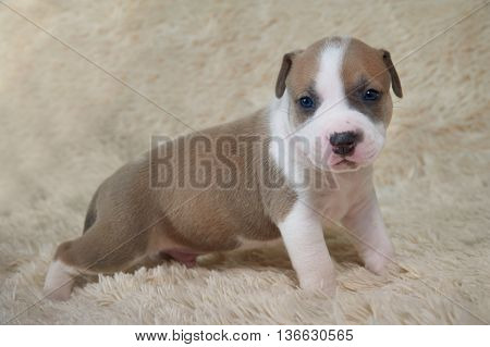 brown and white adorable puppy staffordshire terrier playing