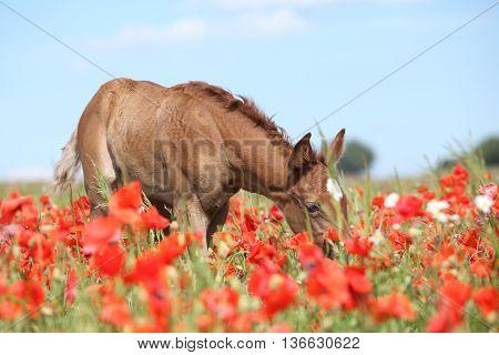Amazing Arabian Foal Running In Red Poppy Field