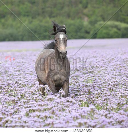 Nice Arabian Horse Running In Fiddleneck Field
