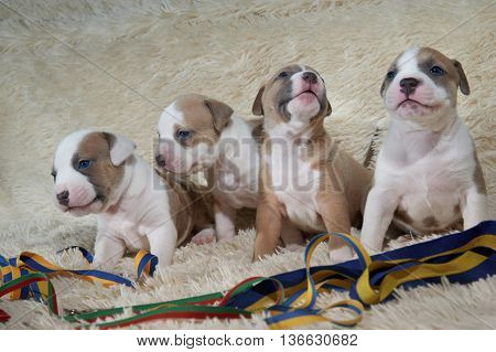 four american staffordshire terrier puppies sitting near color ribbons