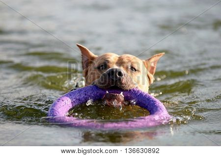 american staffordshire terrier dog swim in water with ring