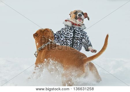 Two american staffordshire terrier dogs having fun in winter