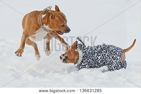 Two american staffordshire terrier dogs playing in winter