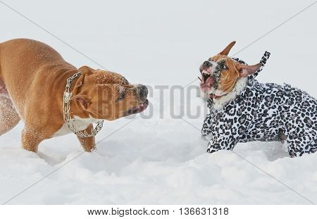 Two american staffordshire terrier dogs having funny play in winter