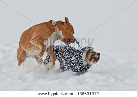 Two american staffordshire terrier dogs playing in snow