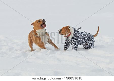 two dogs american staffordshire terrier play and run in the snow