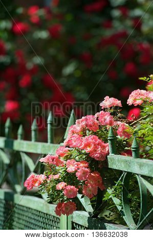 Bush of blossoming pink rose trudging over the fence