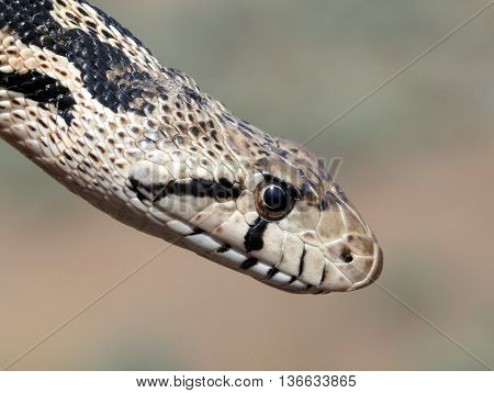Close-up of a Gopher Snake (Pituophis catenifer)