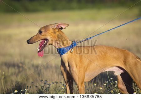 Italian Greyhound. Sunset. Small Dog In A Field.