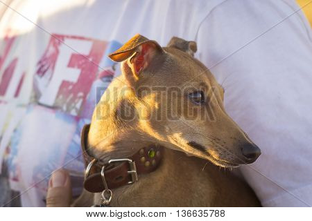 Italian Greyhound. Sunset. Portrait Of A Small Dog