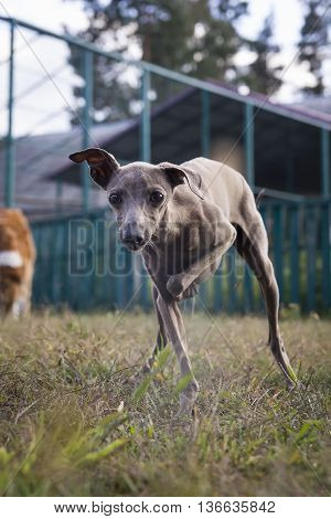 Italian Greyhound Dog Playing On The Lawn. Silver Coat Color