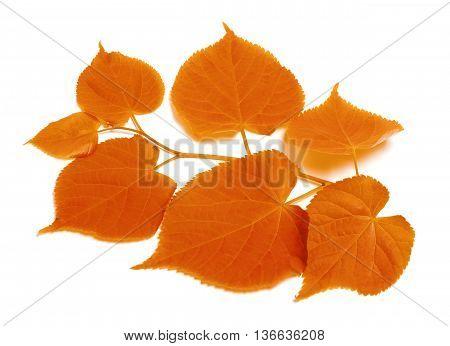 Autumn Sprig Of Linden-tree