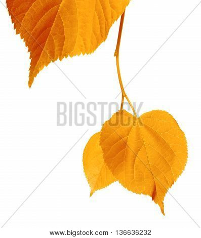 Yellowed Autumnal Leaves
