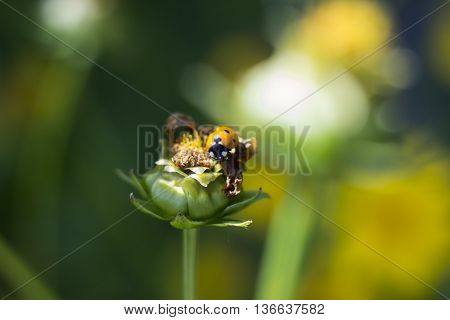 ladybug on a bud of an unblown flower