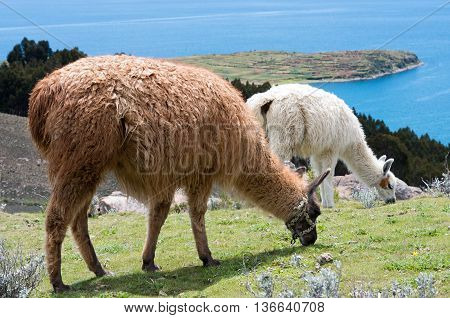 Lama On Island Of The Sun On Titicaca Lake. Bolivia.