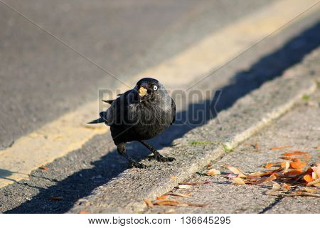A Jackdaw feeding on vegetables scraps on the side of a road