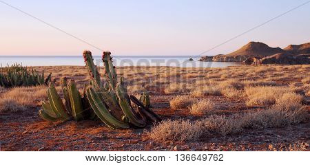 Fruiting cactus on Isla San Marcos, Sea of Cortez, Mexico