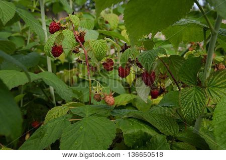 in the garden after the rain fragrant red berry raspberry with green leaves and drops of water