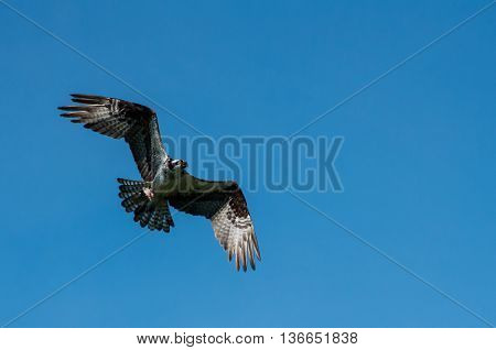 Osprey in flight with half a fish in it's talons