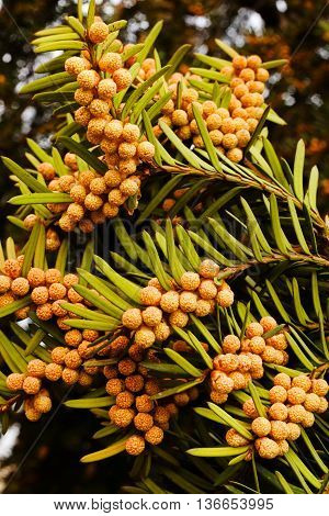 Fruits Of European Yew